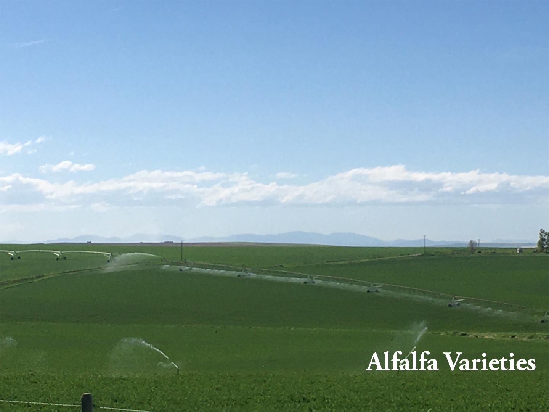 Alfalfa Varieties Articles