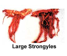 large strongyles