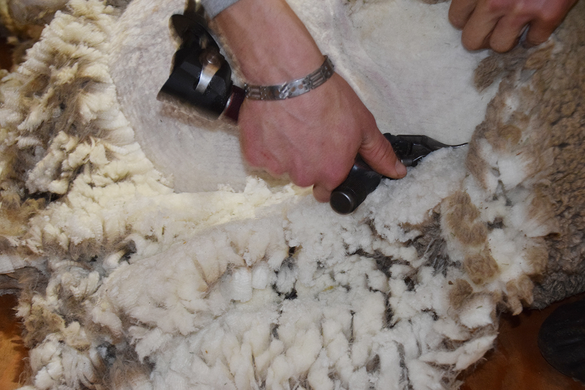 A closeup on the hand and clippers shearing a sheep.